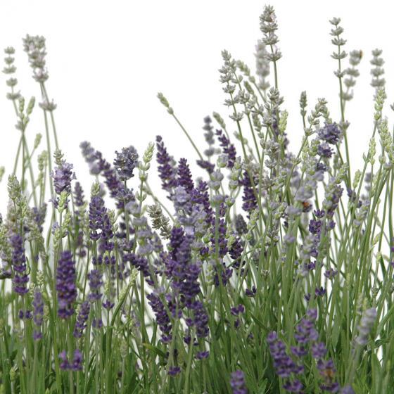 Lavendel Trio XL