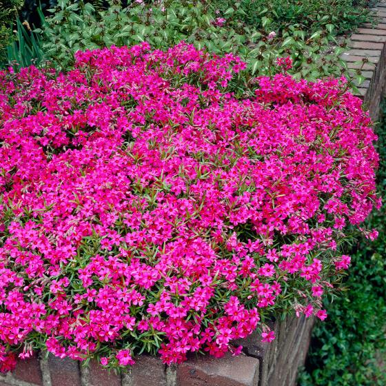 Roter Polsterphlox