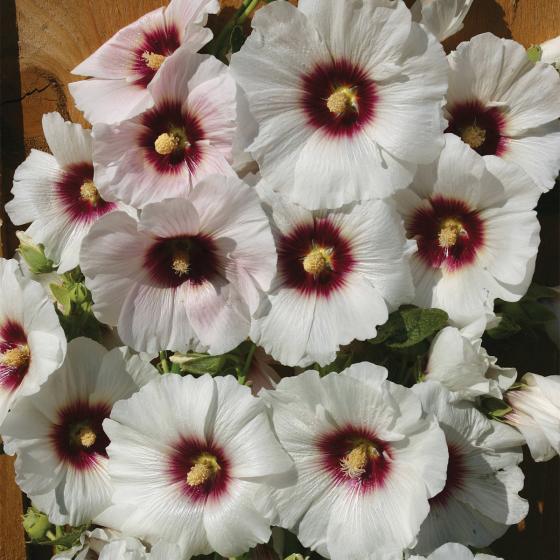 Regenbogen-Stockrose Halo Blossom