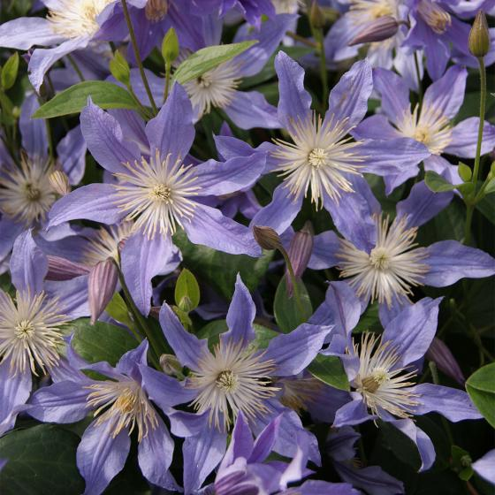 Clematis Blue River