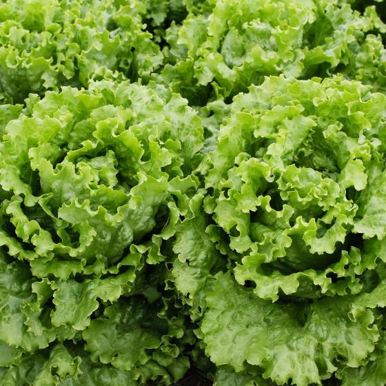 Salatsamen Schnittsalat Grüner Eishäuptel