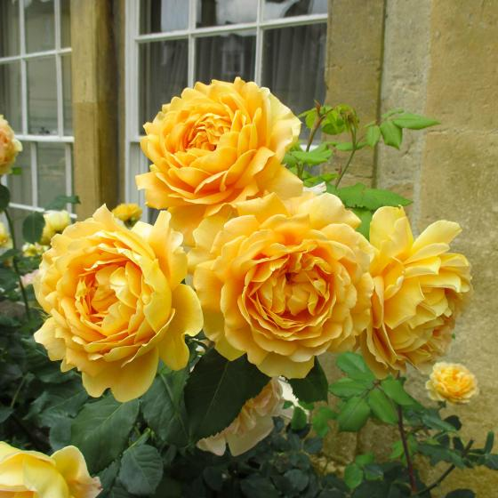 Strauchrose Gärtner Pötschkes Schöne Gelbe