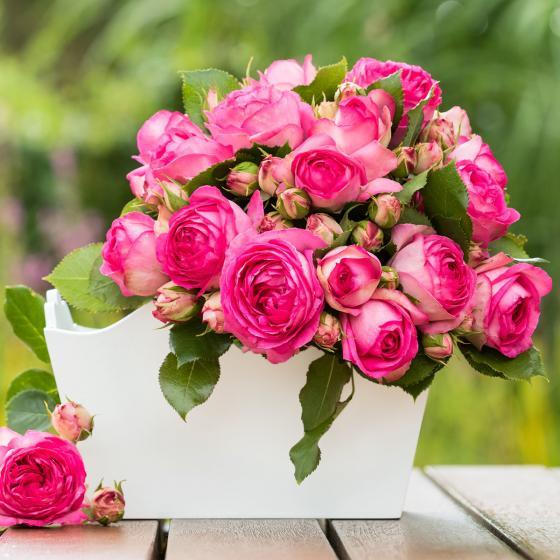 Rose Pink Eden Rose®