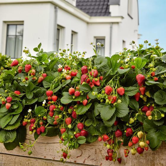 erdbeerpflanze duft erdbeere delizz von g rtner p tschke. Black Bedroom Furniture Sets. Home Design Ideas