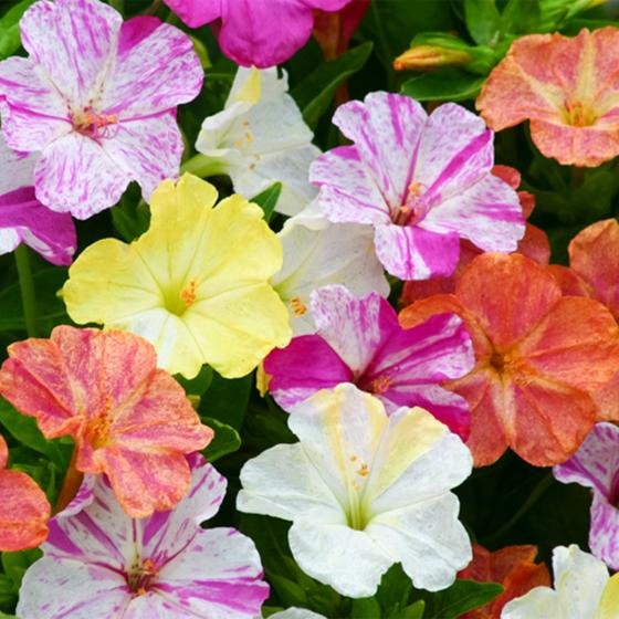 Wunderblumen Marbles-Mischung