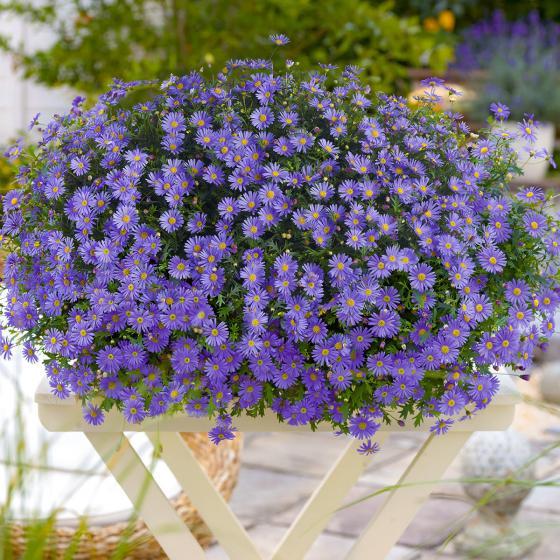 Blaues Hängendes-Gänseblümchen