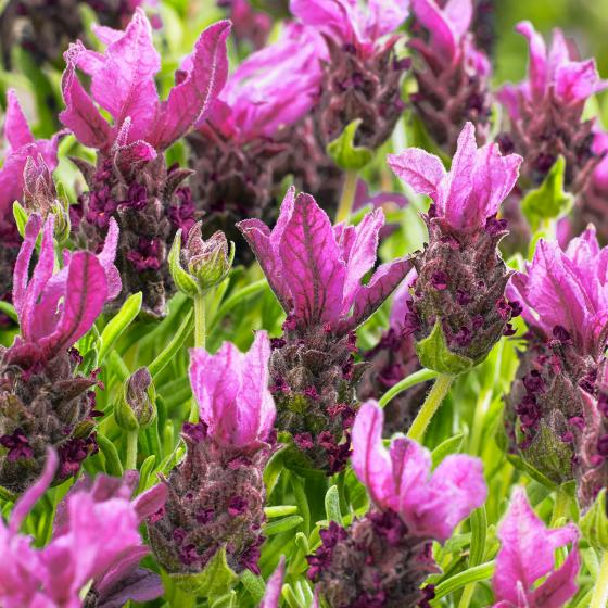 Schmetterlingslavendel Flirt Lilac