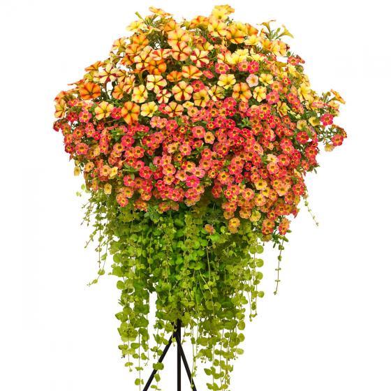Sommerblumen-Sortiment Sonnenschein