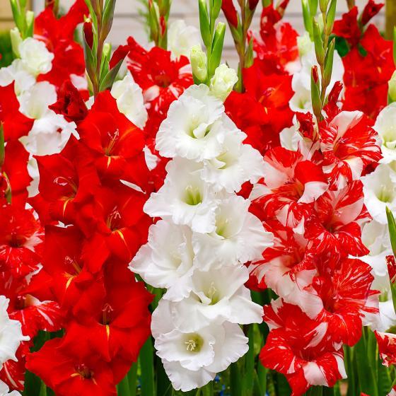 Gärtner Pötschkes Gladiolen Trio in Rot-Weiß
