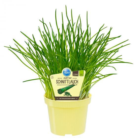 Blu Bio-Kräuterpflanze Schnittlauch