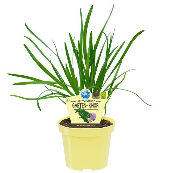 Bio-Kräuterpflanze Winterharter Garten-Knofi