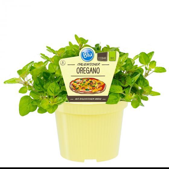 Blu Bio-Kräuterpflanze Oregano