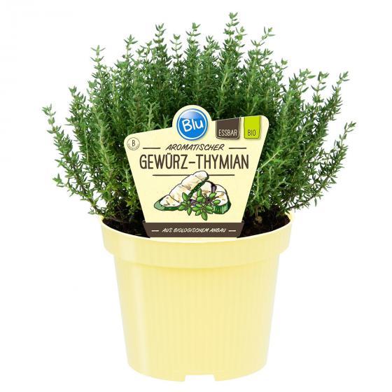 Blu Bio-Kräuterpflanze Thymian