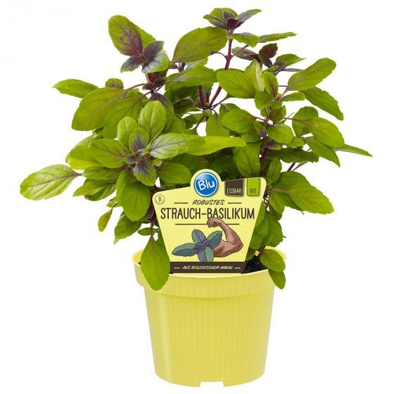 BIO Kräuterpflanze Strauch-Basilikum, im ca. 12 cm-Topf