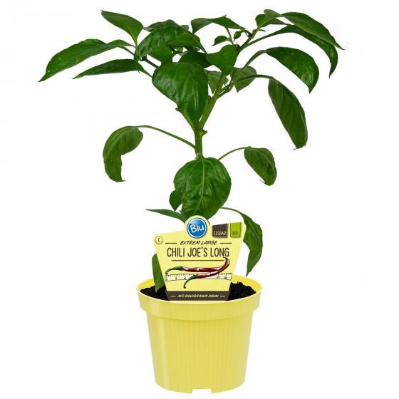 BIO Gemüsepflanze Chili Joe´s Long, im ca. 12 cm-Topf