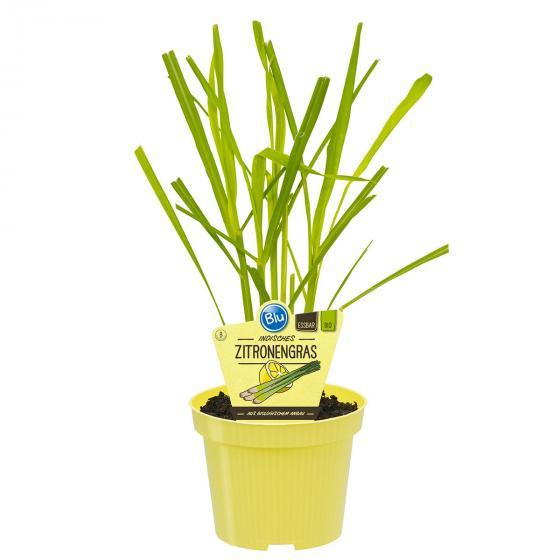 Blu Bio-Kräuterpflanze Zitronengras