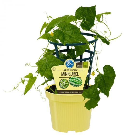 BIO Gemüsepflanze Gurke Mexikanische Minigurke, im ca. 12 cm-Topf