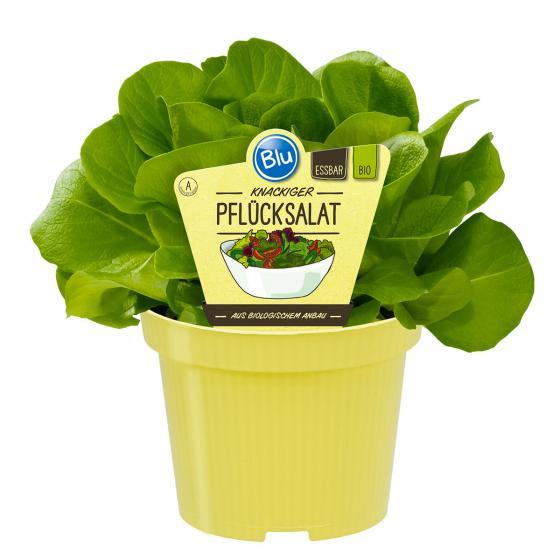 BIO Gemüsepflanze Pflücksalat, im ca. 12 cm-Topf