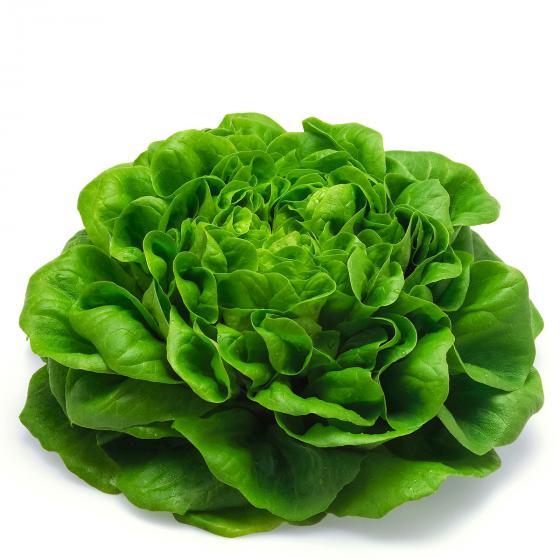BIO Gemüsepflanze Grüner Pflücksalat