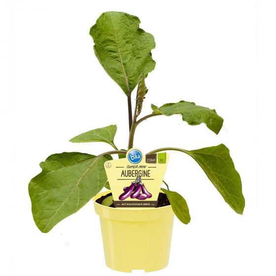 Blu Bio-Gemüsepflanze Aubergine Super-Mini