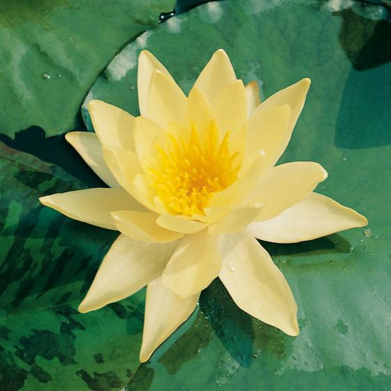Gelbe Seerose, im ca. 11 cm-Topf