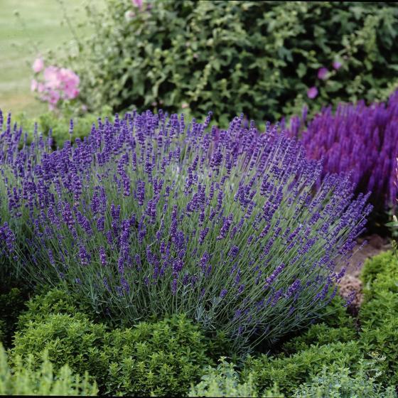 Super XL Lavendel