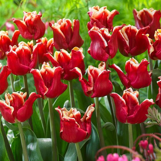 Tulpe Elegant Crown