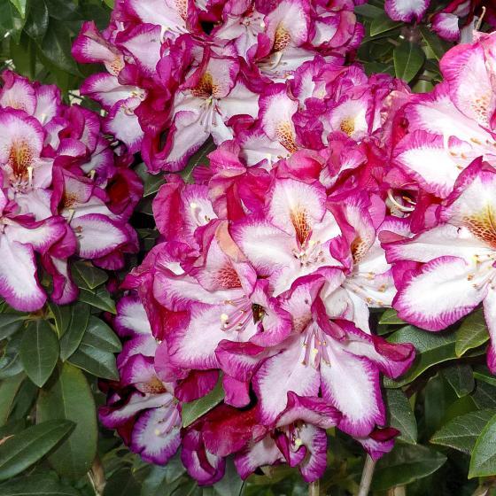 Rhododendron Midnight Mystique