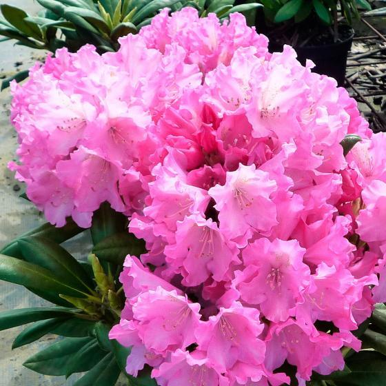 Kompakter Rhododendron Rosa Wolke
