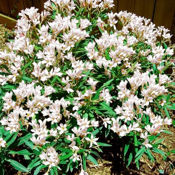 Weißer Oleander, XL-Qualität