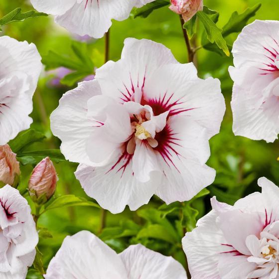 Garten-Hibiskus, gefüllte, weiß mit rotem Herz, im ca. 21 cm-Topf