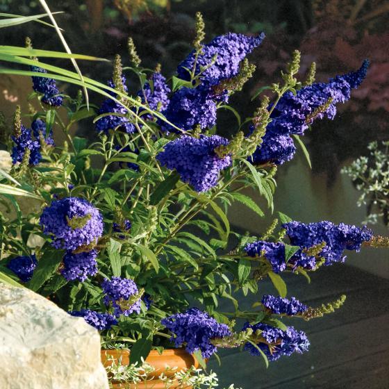 Kompakter Schmetterlingsflieder, blau,  im ca. 25 cm-Topf