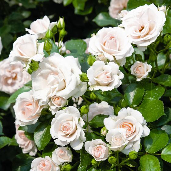 Rose Aspirin, im 4,5-Liter-Topf