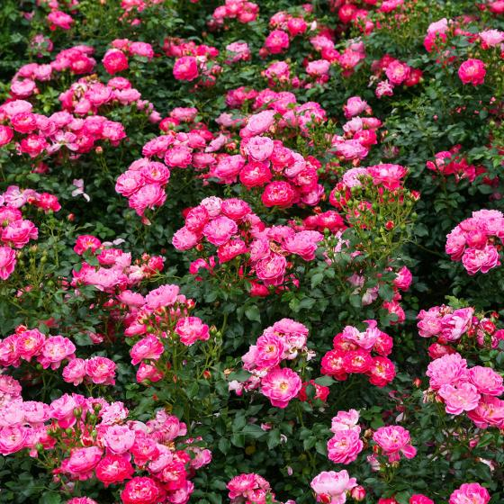 Rose Charmant, XL-Qualität