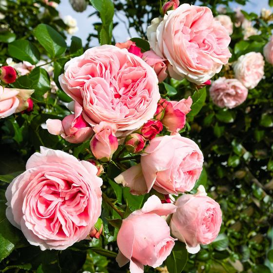 Rose Giardina, im 5,5-Liter-Topf
