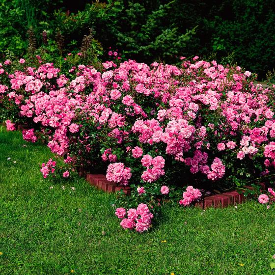 Rose Mirato, XL-Qualität