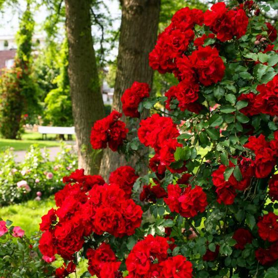 Rose Roter Korsar, im 5,5-Liter-Topf