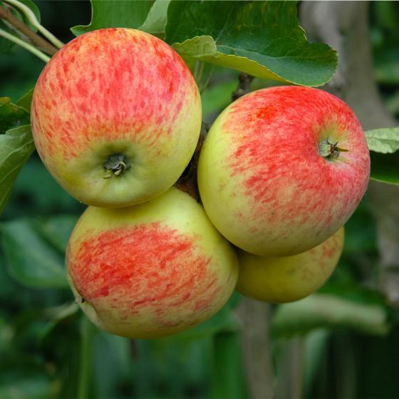 Apfel Piros