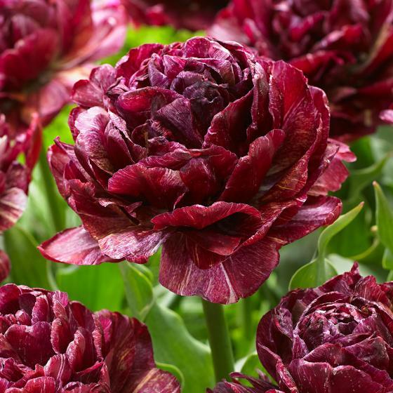Tulpe Nachtwacht
