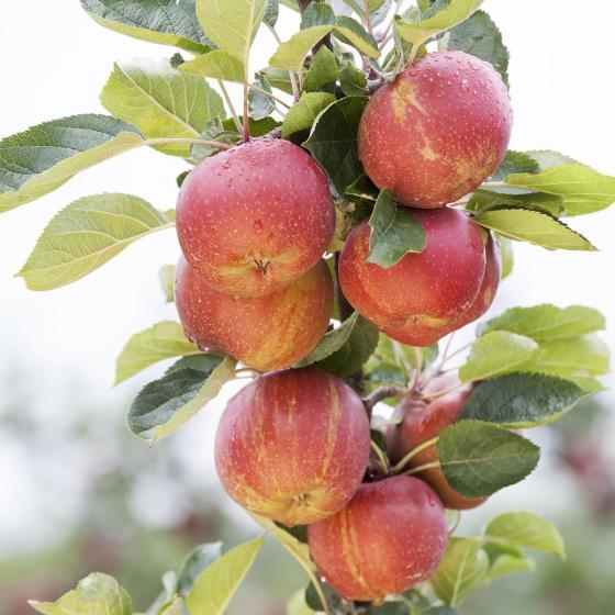 Premium Apfel Roter Boskoop