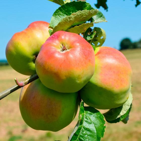 Apfel Ontario, dreijährig