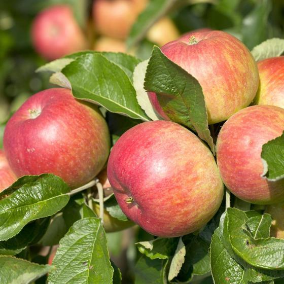 Apfel Roter Berlepsch XL, dreijährig