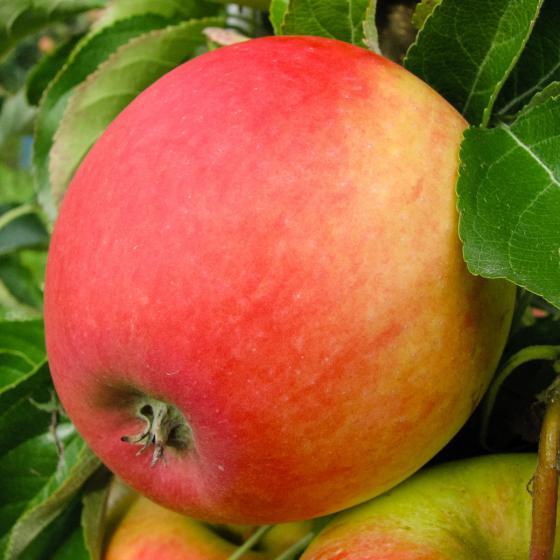 Apfel Pinova, dreijährig