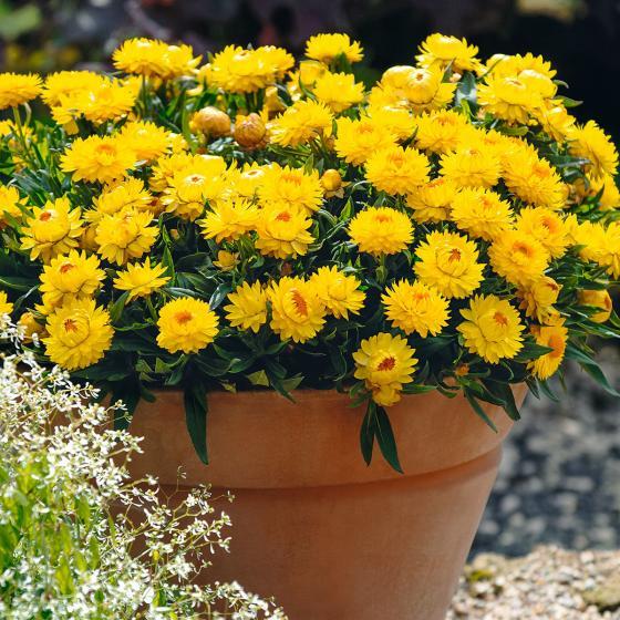 Gelbe Strohblume