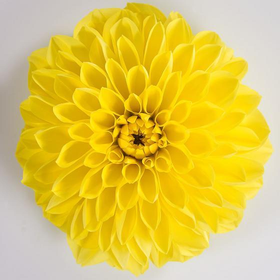 Gelbe Sommer-Dahlie XL