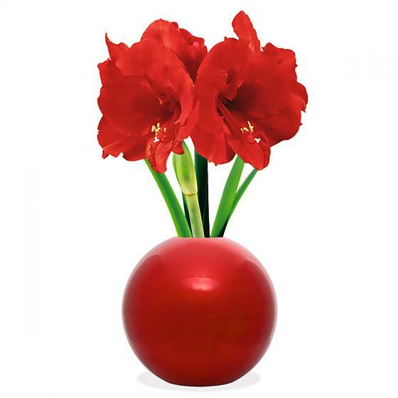 Amaryllis in roter Weihnachtsbaum-Kugel