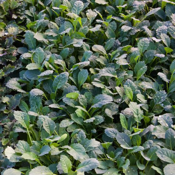 Blattkohlsamen Texsel Greens