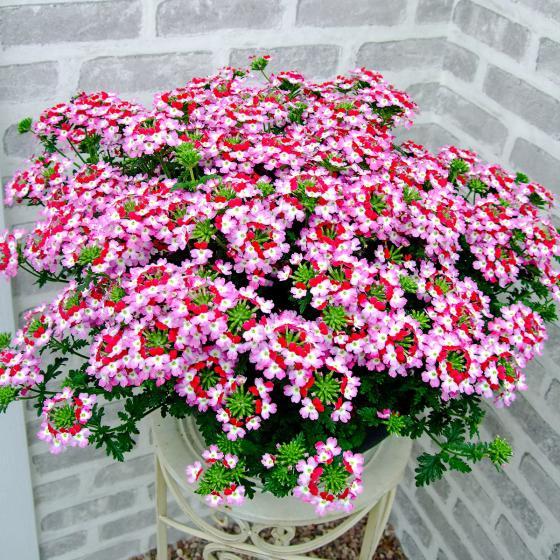 Mini-Jungpflanze Hänge-Verbene Red Rose