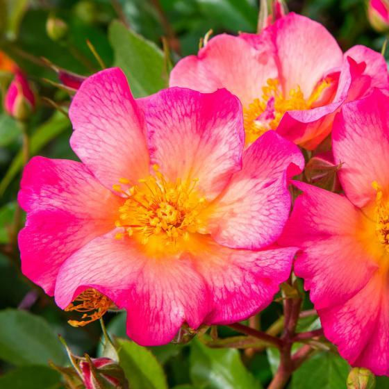 Strauchrose Pretty® Sunrise, im ca. 17 cm-Einpflanz-Topf