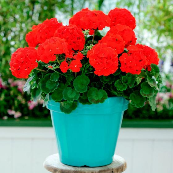 Mini-Jungpflanze Geranie Cabaret Rot